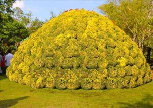 Chiều cao vòm của bó hoa cúc mâm xôi lên đến 5,6m