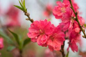 Hoa đào tết miền bắc