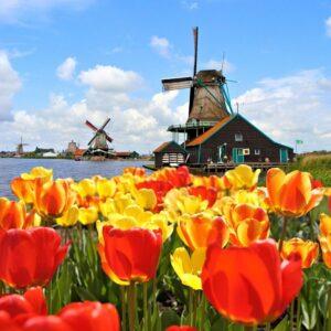 hoa tulip hà lan